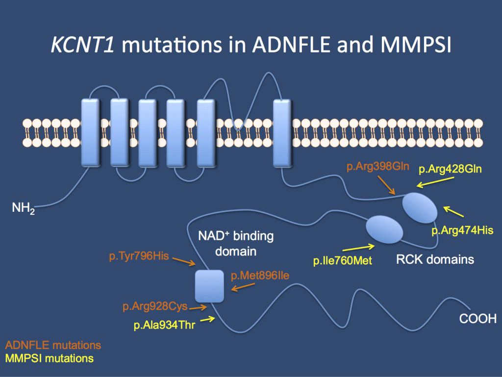 The KCNT1 channel. Mutations in the gene cause Autosomal Dominant Nocturnal Frontal Lobe Epilepsy (ADNFLE) and Malignant Migrating Partial Seizures of Infancy (MMPSI).