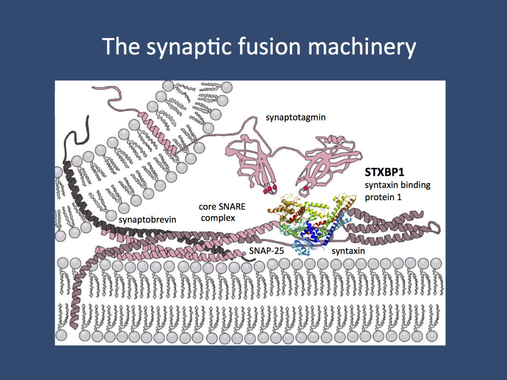 Vesicle fusion. The SNAREpins enable the final act of vesicle fusion that overcomes the repulsion of two lipid bilayers. STXBP1 is one of the proteins interaction with syntaxin, one of three proteins thought to be involved in this process. (Images are from Wikipedia under the GNU Free Documentation License)