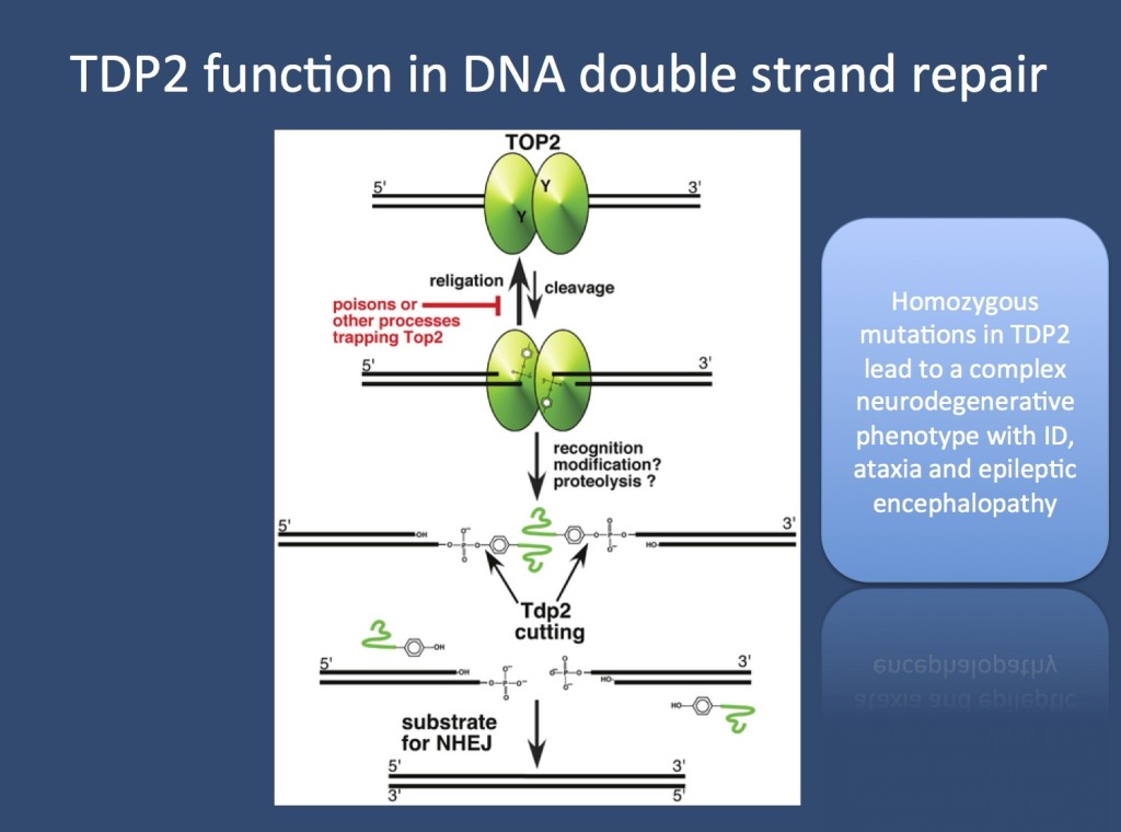 TDP2 function in DNA double strand repair. The topoisomerase 2 enzyme is important for relieving torsional stress of the DNA double helix by introducing brief double strand breaks. In some cases, the topoisomerase enzyme gets stuck to the DNA and needs to be rescued, which is performed by the tyrosyl DNA phosphodiesterase-2 enzyme encoded by the TDP2 gene. Mutations in TDP2 result in neurodegeneration with epilepsy. (Figure adapted from Nitiss et al. under a Creative Commons License http://www.plosgenetics.org/article/info:doi/10.1371/journal.pgen.1003370)
