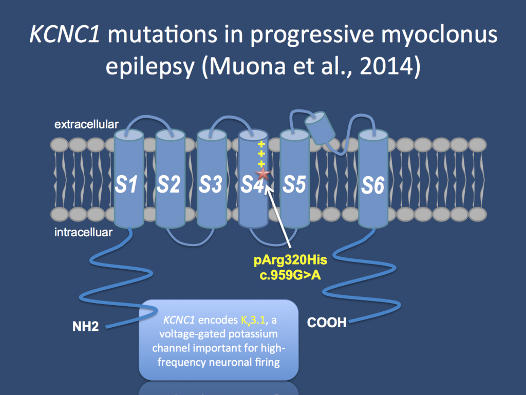 "The KCNC1 channel is a brain-expressed voltage gated potassium channel working as a ""delayed rectifier"". De novo mutations in KCNC1 are a major cause of progressive myoclonus epilepsies and a single recurrent mutation is found in patients, which acts in a dominant negative fashion."
