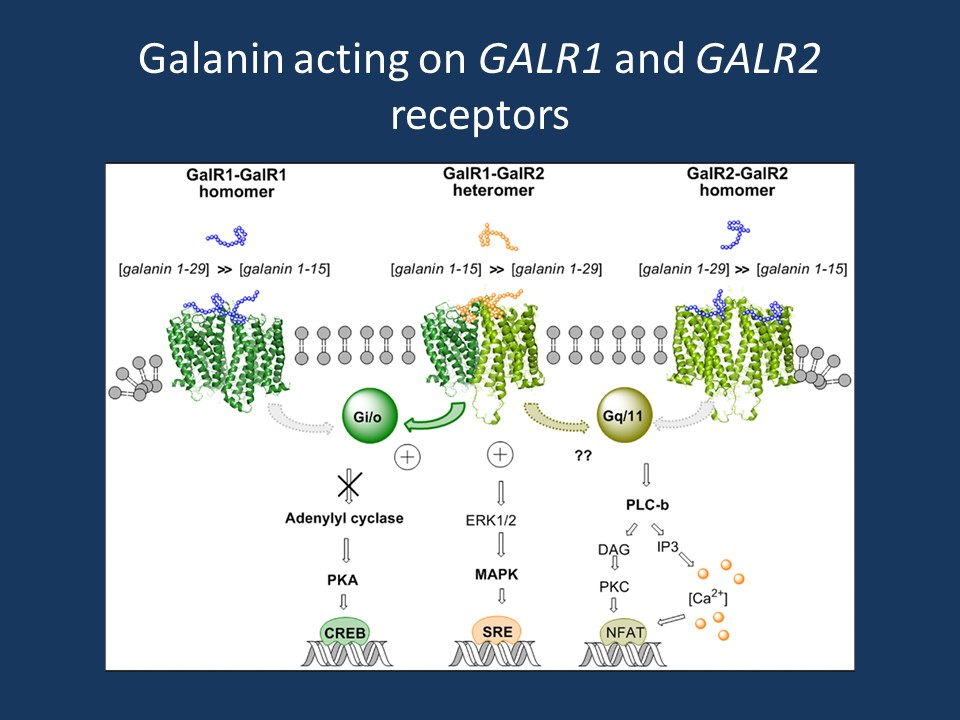 The action of the galanin neuropeptide on the GALR1 and GALR2 receptors. Reproduced and modified under a CC BY licence from an article by Fuxe, Tarakanov, Romero Fernandez, Ferraro, Tanganelli, Filip, Agnati, Garriga, Diaz-Cabiale and Borroto-Escuela in Frontiers in Endocrinology (http://journal.frontiersin.org/article/10.3389/fendo.2014.00071/full).