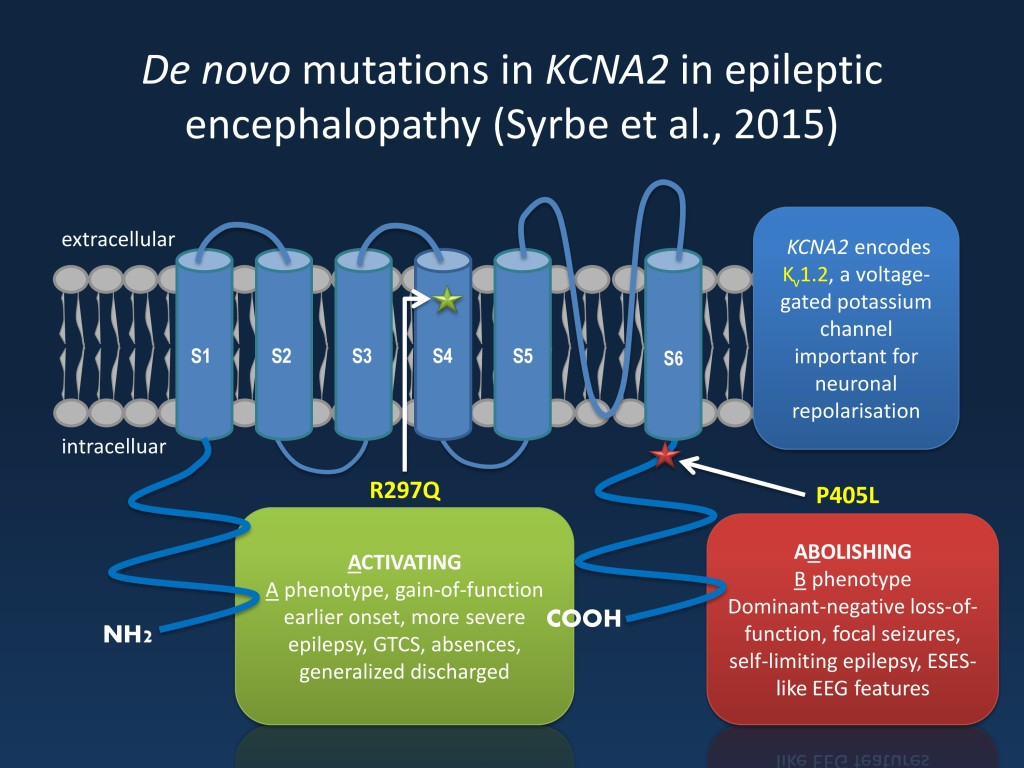 "The KCNA2 channel is a brain-expressed potassium channel, which has six transmembrane domains. KCNA2 encephalopathy falls into two big groups, the ""A phenotype"" due to activating mutations in the transmembrane domain (R297Q) and ""B phenotype"" due to dominant-negative loss of function mutations at the transition of the six transmembrane region to the intracellular C-terminus (P405L)."