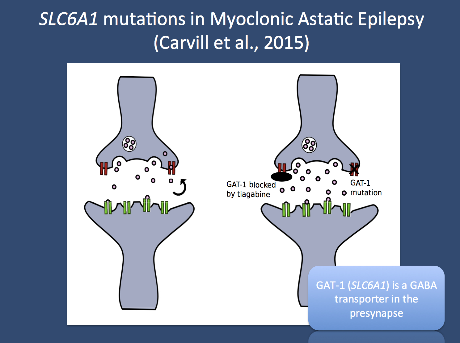 Identifying the Doose gene – SLC6A1 mutations in Myoclonic