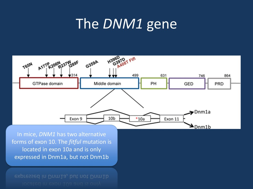 The mouse DNM1 gene. The mouse fitful mutation affects the middle domain of the DNM1 protein. Given that DNM1 has two isoforms in mice, only the homozygous fitful mouse is thought to reliably recapitulate the human phenotype as both isoforms are expressed. These animals have early-onset intractable seizures. [Figure modified from the recent publication by Asinof and collaborators under a Creative Commons license: http://journals.plos.org/plosgenetics/article?id=10.1371/journal.pgen.1005347)