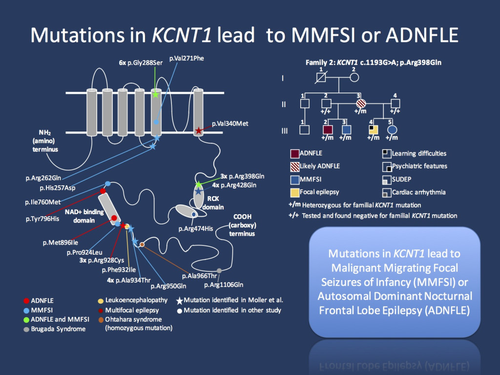 Figure. Distribution of the KCNT1 mutations along the protein, demonstrating the clustering of mutations around the functional domains of the C-terminus. On the left side, a pedigree is shown where affected individuals have either nocturnal frontal lobe seizures or Malignant Migrating Focal Seizures of Infancy (non-copyrighted version of the figures provided by the author).