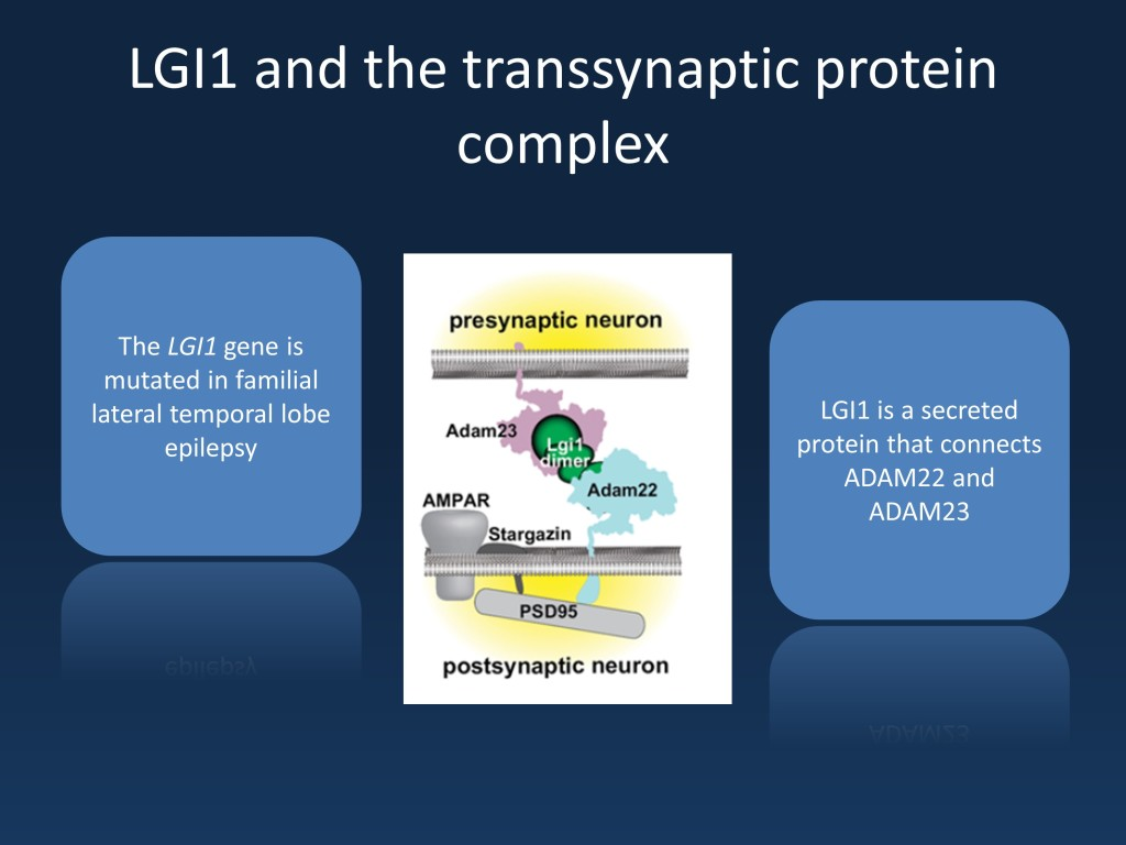 Figure 1. LGI1 connects postsynapse and presynapse through a transsynaptic network interacting with ADAM22 and ADAM23. (Modified from Kegel et al., 2013 under a CC license http://asn.sagepub.com/content/5/3/AN20120095)