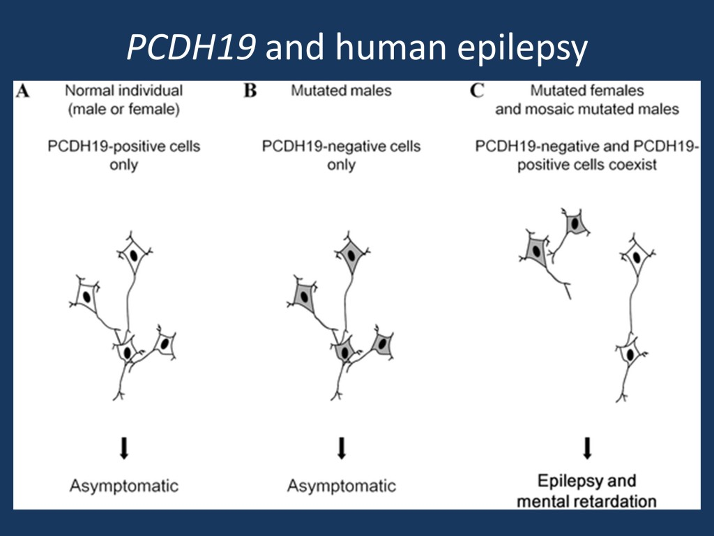 Schematic illustration of the cellular interference mechanism associated with PCDH19 mutations (adapted under a Creative Commons attribution from Depienne et al., 2009 http://127.0.0.1:8081/plosgenetics/article?id=info:doi/10.1371/journal.pgen.1000381)