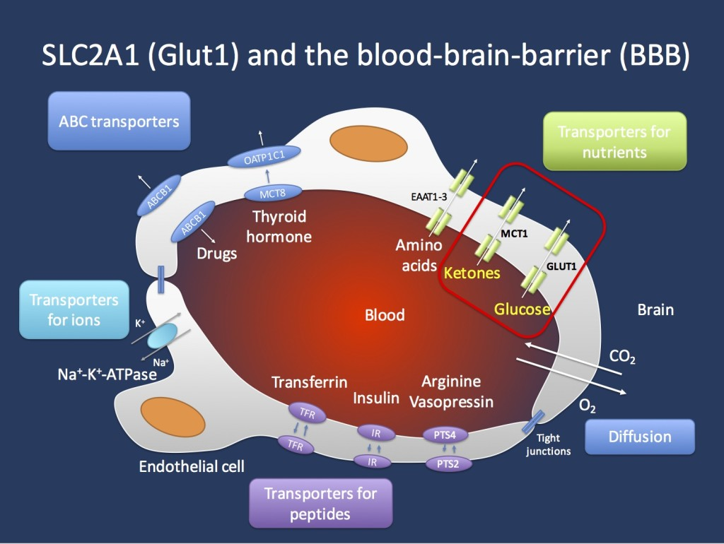 Transport across the blood brain barrier (BBB). The endothelial cells in the Central Nervous System are important gatekeepers of transport into the CNS. The GLUT1 transporter encoded by the SCL2A1 gene is the main transporter for glucose and mutations in the SLC2A1 gene lead to GLUT1 Deficiency Syndrome. This condition can be treated with the ketogenic diet that allows the brain to primarily use ketones as an alternate source of energy. Ketones are primarily transported through the MCT1 transporter, which is encoded by the SLC16A1 gene. Figure inspired by Zlokovic, Nature Reviews Neuroscience 12, 723-738 (December 2011).