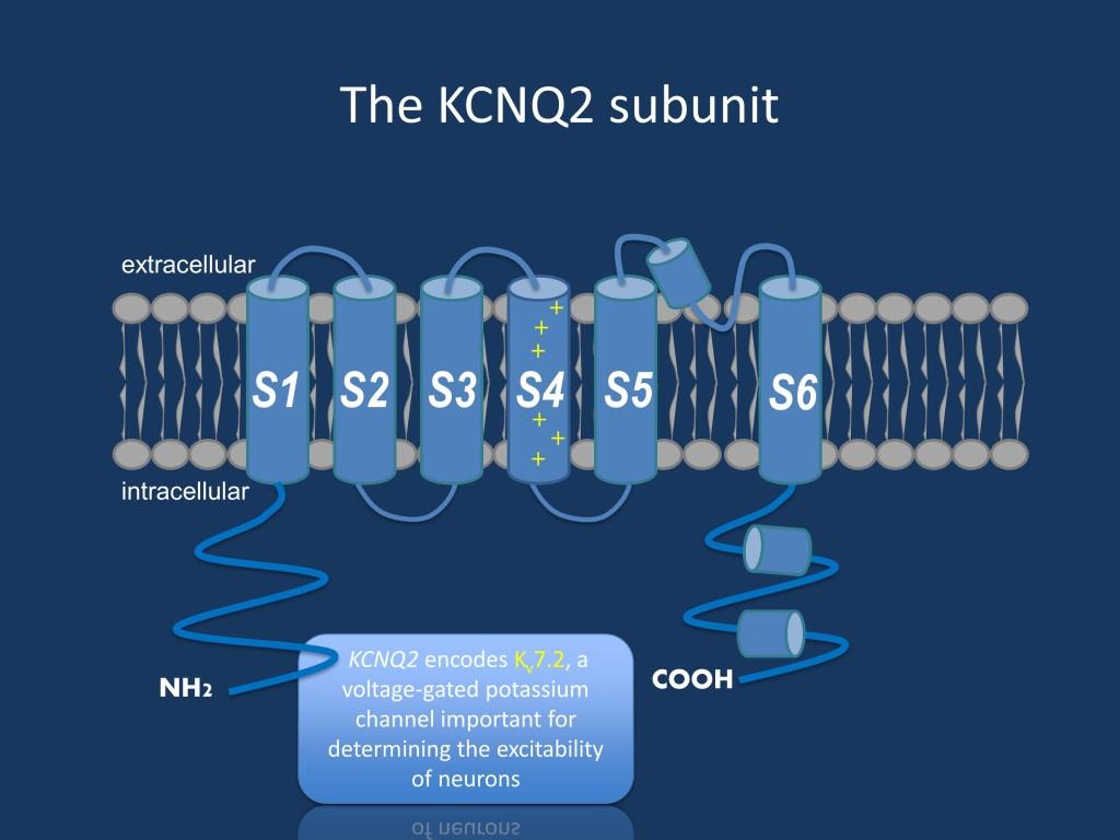 The KCNQ2 subunit