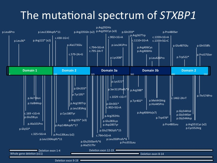 The mutational spectrum of STXBP1. The current figure displays the majority of the mutations reported in the publication by Stamberger and collaborators. The mutations are spread across the STXBP1 gene, but there are a few mutational hotspots. The p.Arg406His mutation is the most common recurrent de novo mutation in the STXBP1 gene.