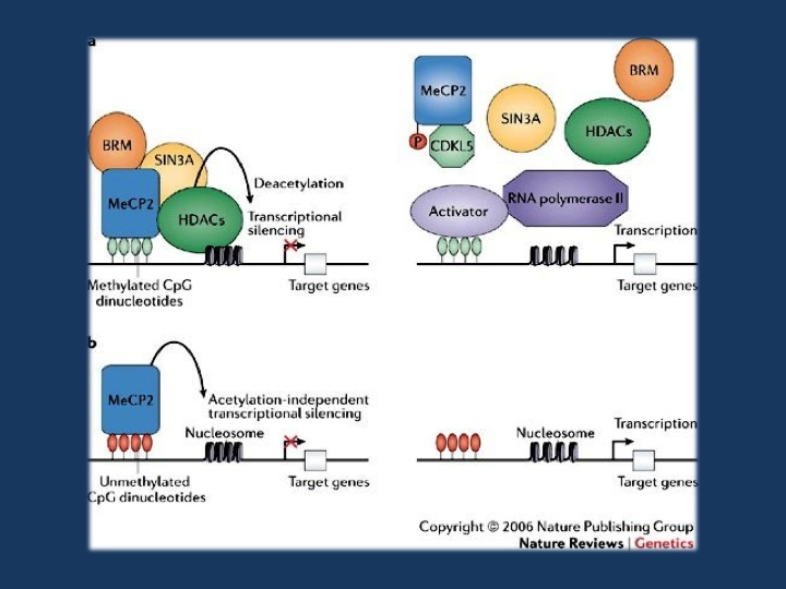 Figure 3 from Bienvenu & Chelly, 2006. a | Transcription is suppressed in promoter regions containing methylated CpGs that are bound by MeCP2 (methyl-CpG-binding protein 2). MeCP2 binds methylated DNA and recruits chromatin-remodeling complexes that contain SIN3A (a transcriptional co-repressor), BRM (a SWI/SNF-related chromatin-remodelling protein) and histone deacetylases (HDACs). When MeCP2 is not bound to methylated DNA (right panel), the complex that usually contains MeCP2, BRM, SIN3A and HDACs is not recruited. This could result from a missense mutation in the methyl-CpG-binding domain or loss of expression of MeCP2, for example, because of an early-truncating mutation (these scenarios are not shown here). In each of these cases, histones remain acetylated and the DNA at the promoter remains in an open conformation, allowing transcription factors to bind DNA and initiate transcription. b | MeCP2 is also a potent chromatin-condensing protein and can repress gene expression independently of DNA methylation, at least in vitro71 (left panel). At promoters where this DNA-methylation-independent function of MeCP2 is involved in regulating expression, a deficiency or absence of MeCP2 leads to a disorganization of chromatin structure (indicated here by increased spacing between nucleosomes), making transcription more likely to occur (right panel). Reprinted by permission from Macmillan Publishers Ltd: Nature Review Genetics (Bienvenu T., Chelly J. 2006. Molecular genetics of Rett syndrome: when DNA methylation goes unrecognized. Nat. Rev. Genet. 7, 415–426. 10.1038/nrg1878), copyright 2006.